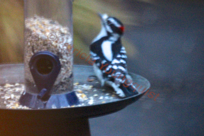 A grainy photo but enough detail to see a downy woodpecker enjoyed the Droll tube from a tray @ http://www.thelastleafgardener.com/2013/01/another-year-over-and-new-one-just_17.html