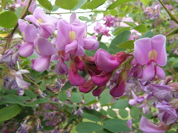 The flowering bush mystery.