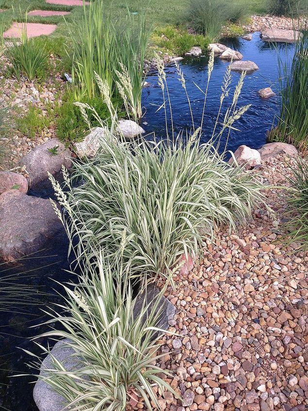marginal aquatic plants, flowers, gardening, ponds water features, Strawberries and Cream Ribbon Grass