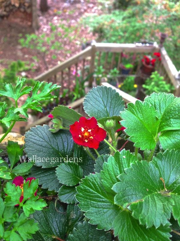 Strawberry (Fragaria X ananassa)