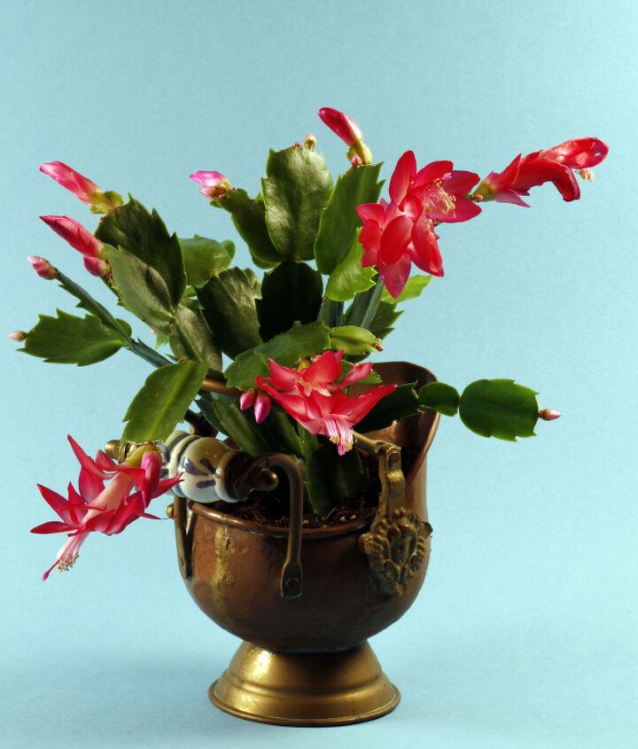 how to care for a christmas cactus, christmas decorations, gardening, seasonal holiday decor