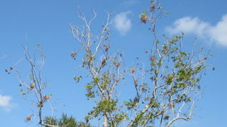 , Pecan tree in Florida with webworms