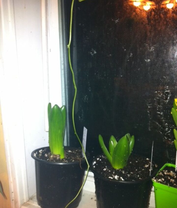 Blue Hyacinth  2/7/2013 Wish me luck..If you have any advice please share with me since I am new to these..