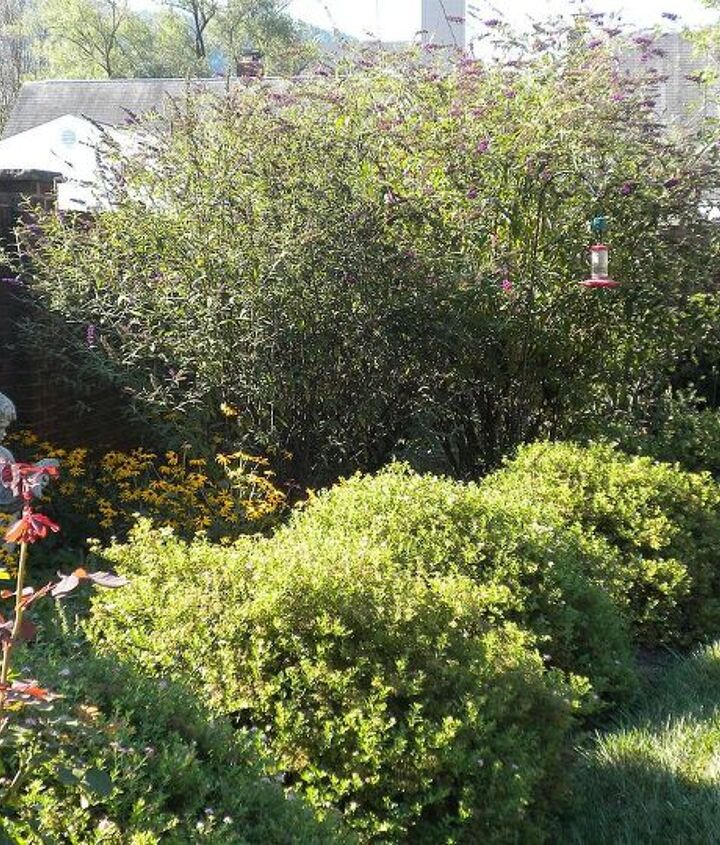 Butterfly Bushes (tree-like variety, peak, Aug), spirea in foreground (looking shaggy)