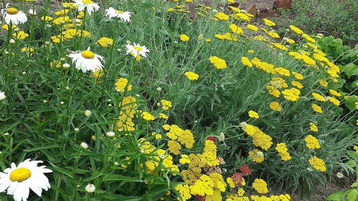 Yarrow and daisies