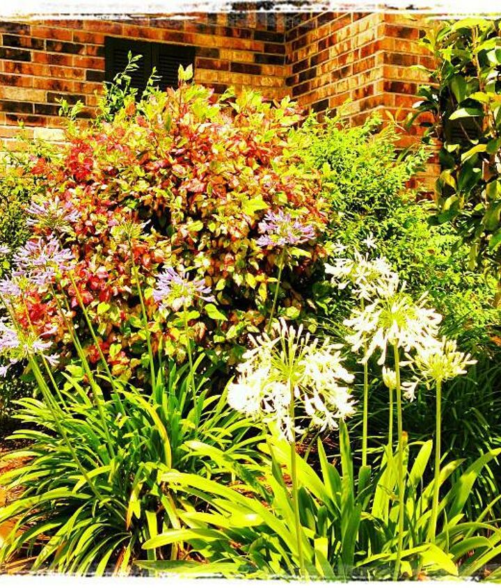 Agapanthus and side plants...