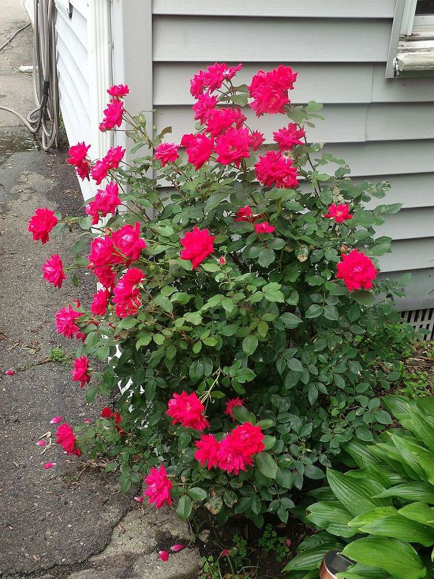 My red roses. You can tell which side gets the most sun! I really need to prune the tree.