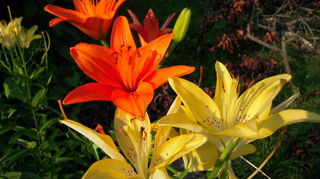 is this a daylily or something else, flowers, gardening, Are these Asiatic lilies too