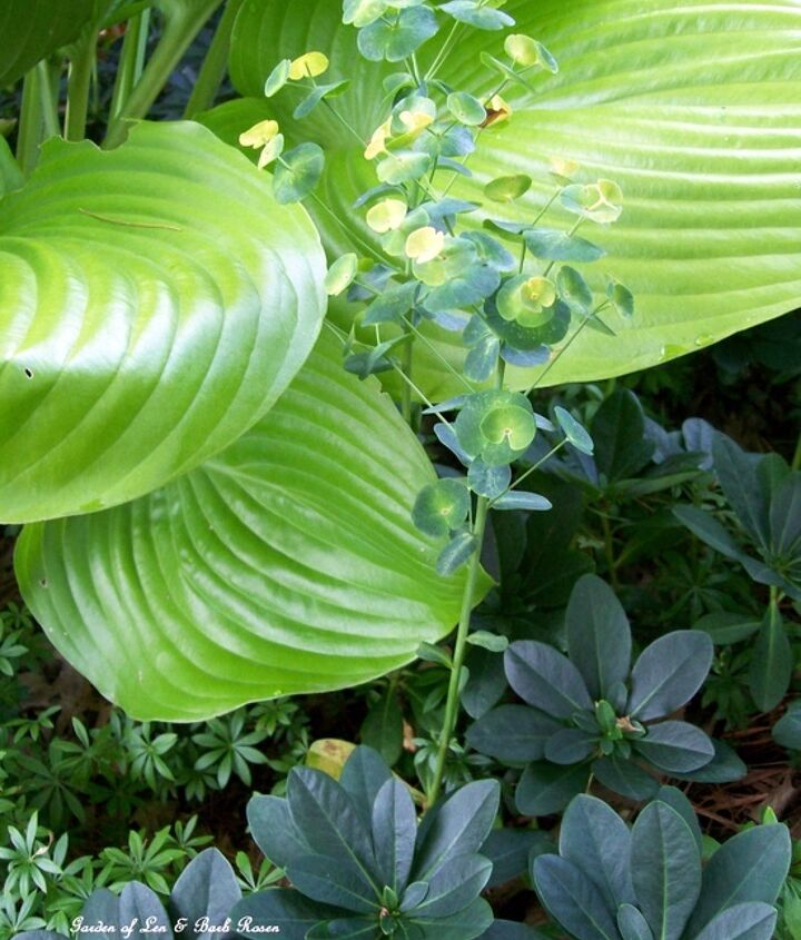 """Dry shade partners ~ Hosta """"Sum & Substance, May Flower (groundcover) and Spurge"""