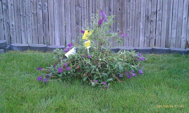 Butterfly bush a little sad, but I'll make it happy again!
