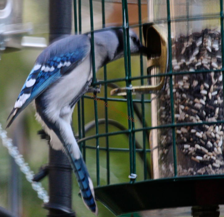 I featured this image of a lone blue jay at my modified feeder) on Cornell's FB Page.