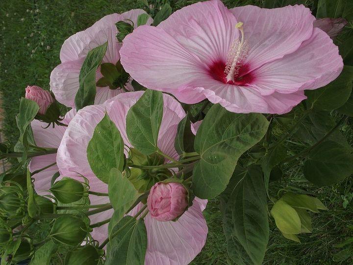 hibiscus, flowers, gardening, hibiscus