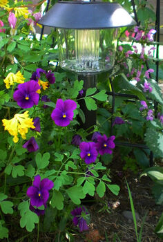 vintage plants are new again, gardening, Corydalis Pansies and Pink Lamium