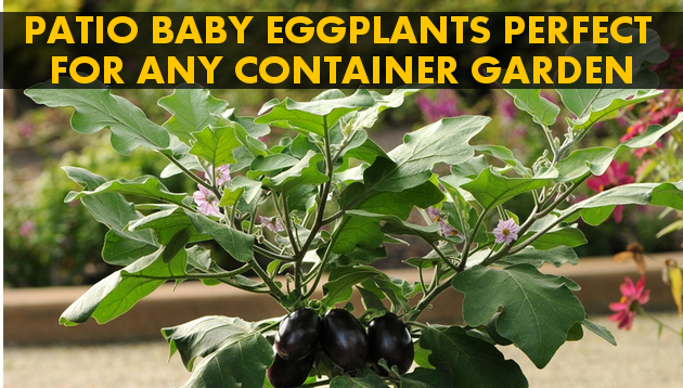 container gardening patio baby eggplant takes the prize, container gardening, gardening, patio