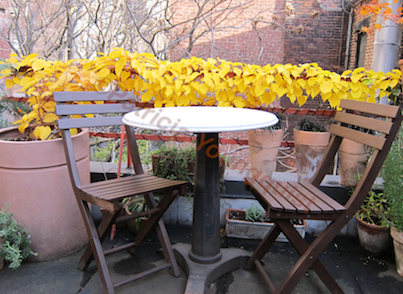 One of the kiwi vines' speaks about this awesome yellow foliage when he narrates my garden themed movie @  http://vimeo.com/user7145610/videos/page:2/sort:date
