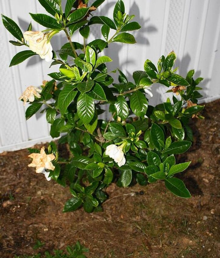 q gardenia or camellia, gardening