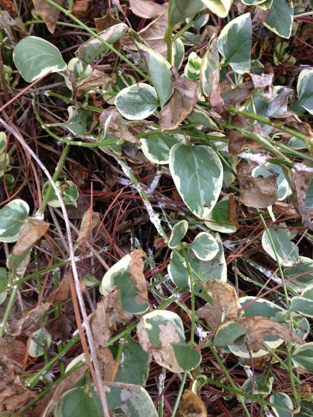 what is killing my plants, gardening, White fungus on the stems