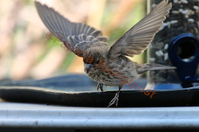 It looks as if the house finch was pretty happy with the feeder arrangement @  https://www.facebook.com/photo.php?fbid=412042782178434&set=pb.247917655257615.-2207520000.1372796446.&type=3&src=https%3A%2F%2Ffbcdn-sphotos-f-a.akamaihd.n