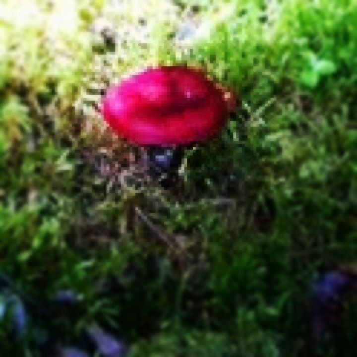 """OK.. Truthfully, this was not found at Hawk's Creek.  I guess I have a fascination with fungus.  Anyway, I crawled under a tree(thus poor quality pic) in Alaska to see this poisonous beauty called """"Pretty Little Puker""""..very poisonous."""