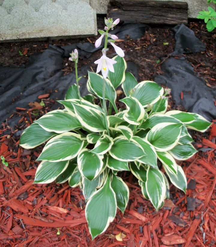The hostas seem to be fine (they are in a spot where the water drains away from them a little more!