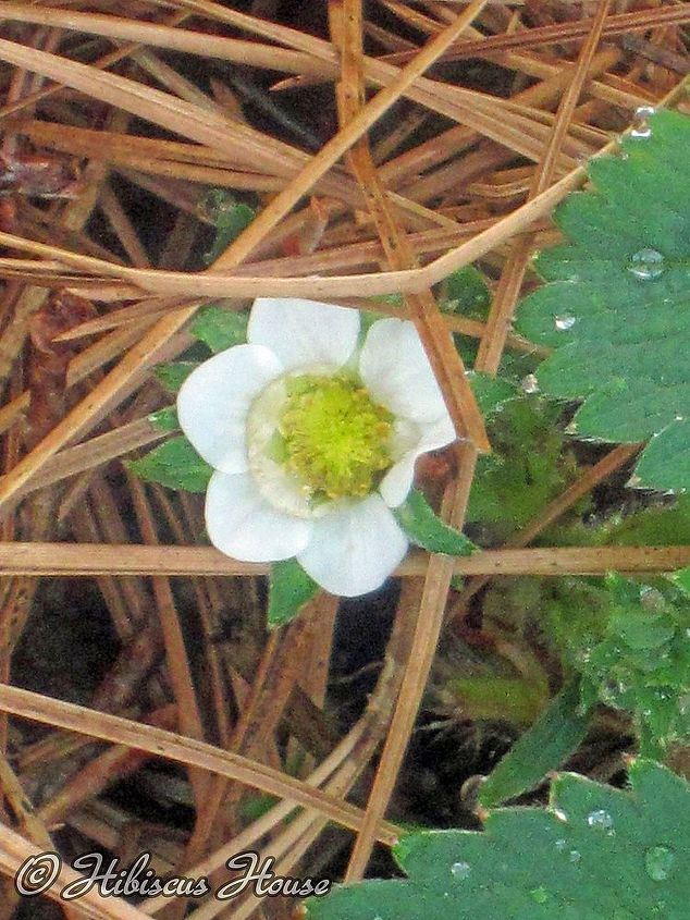 strawberry patch and wild critter, gardening, Beautiful blooms