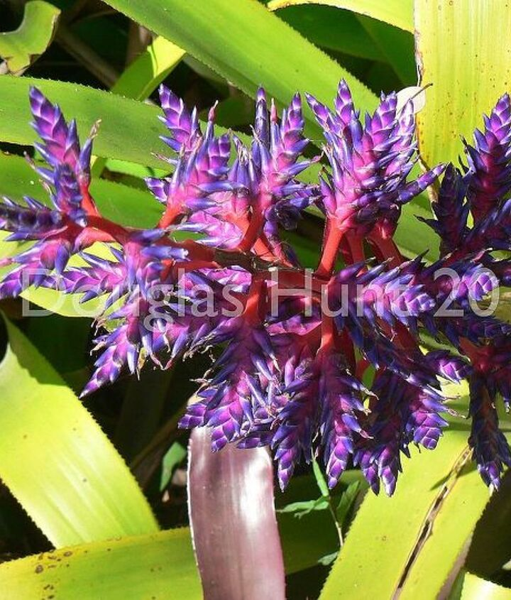 The technicolor blooms of a bromeliad.