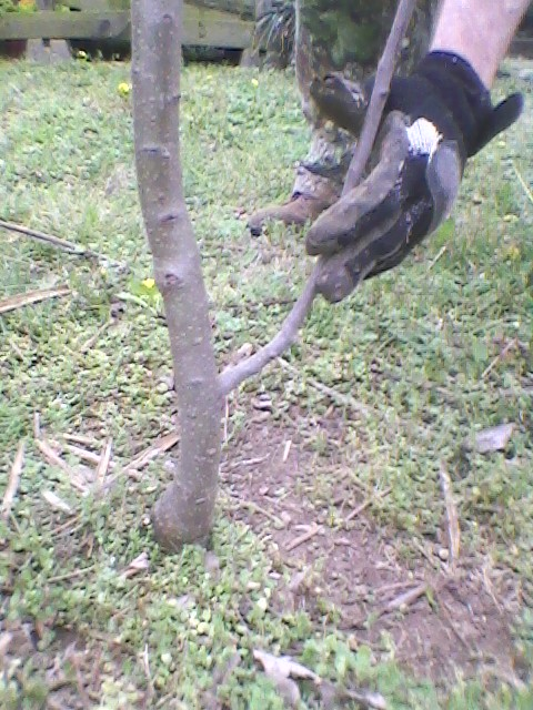 cutting a lower limb on an apple tree, gardening, Young 2 1 2 yrs Gala apple tree trunk Hand holding the limb to cut