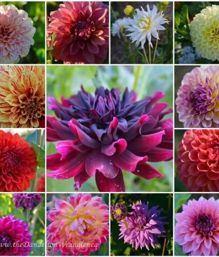 A collection of dahlia growing out at Colony Farms Community Gardens.
