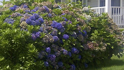 An acidic soil (lower PH) is required to get these deep blue blooms. Add a mulch high in acidic matter like pine needles or lower the PH balance with Soil Acidifier