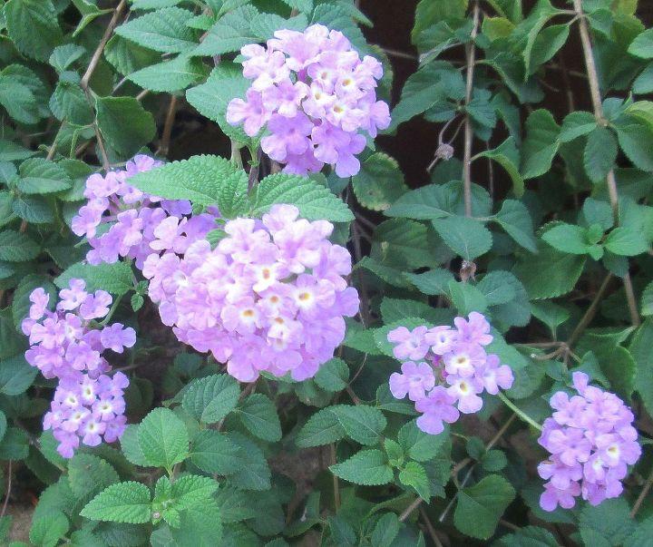 lantana, gardening