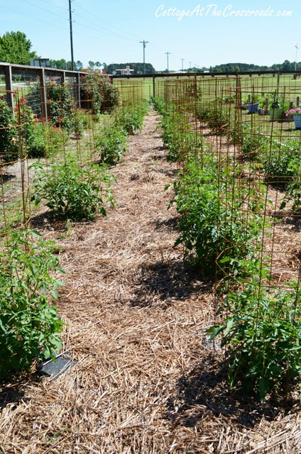 We put landscaping fabric down before we planted our tomatoes, and look! No weeds!