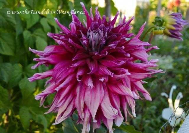 Talk about a 'deep dish' dahlia! I love this feisty purple explosion.