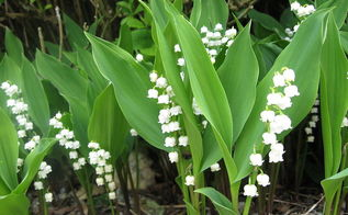 get control of invasive lily of the valley, flowers, gardening, hydrangea