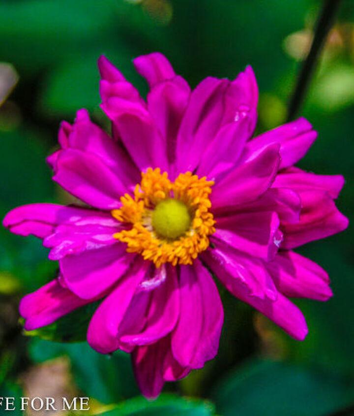 japanese anemone, gardening