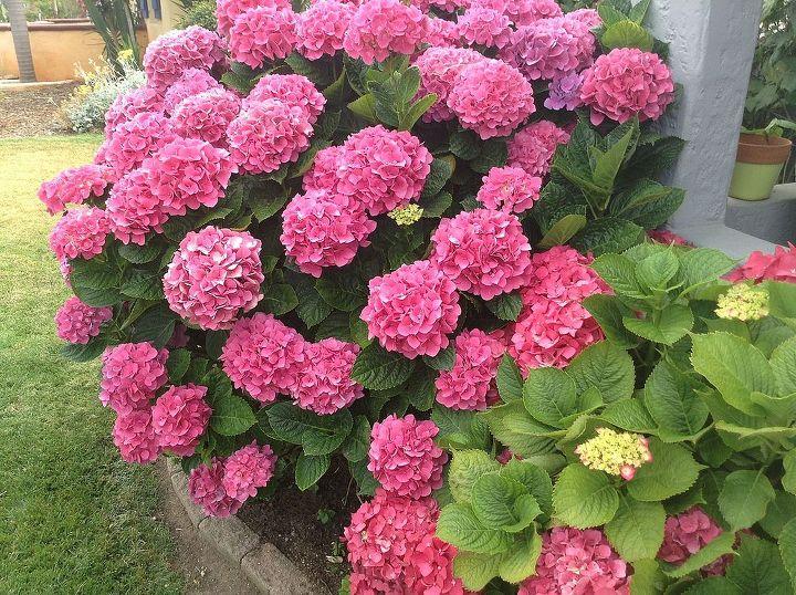 hydrangeas in oceanside ca, flowers, gardening, hydrangea