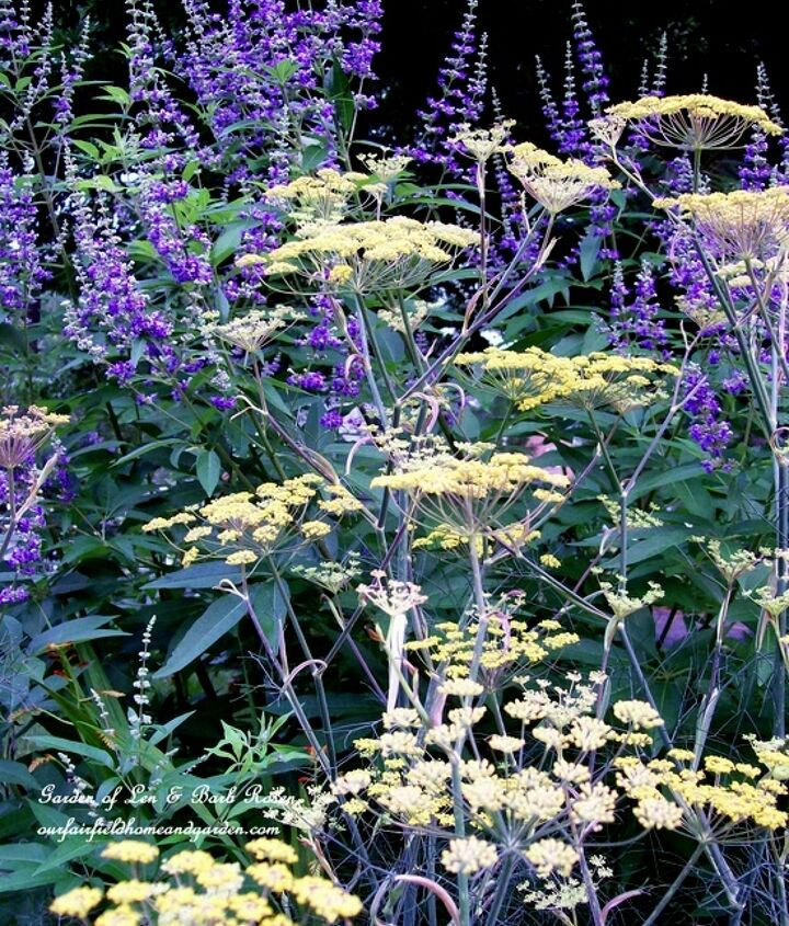 Tall & regal ~ Vitex and Bronze Fennel (a favorite of our finches!)