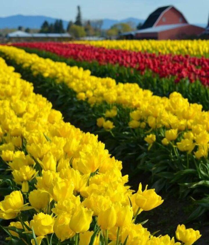 the skagit valley tulip festival tulip town follow the rainbow, gardening