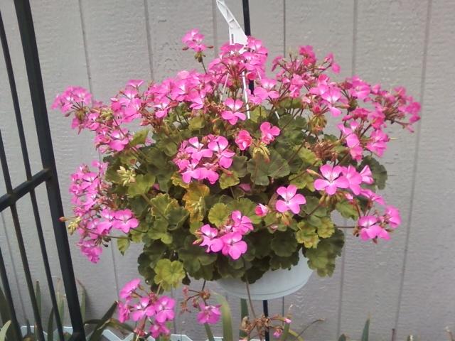 overwintering geraniums, gardening