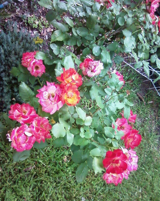 Love the multi colored roses.
