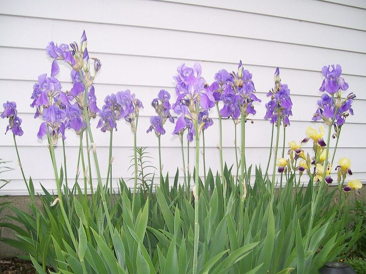 irises that came with the house when I bought it 5 yrs ago.
