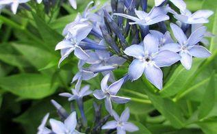 garden walk june 1st, flowers, gardening, outdoor living, Amsonia bringing blue to the garden