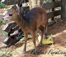 hand raising a wild antelope, homesteading, pets animals