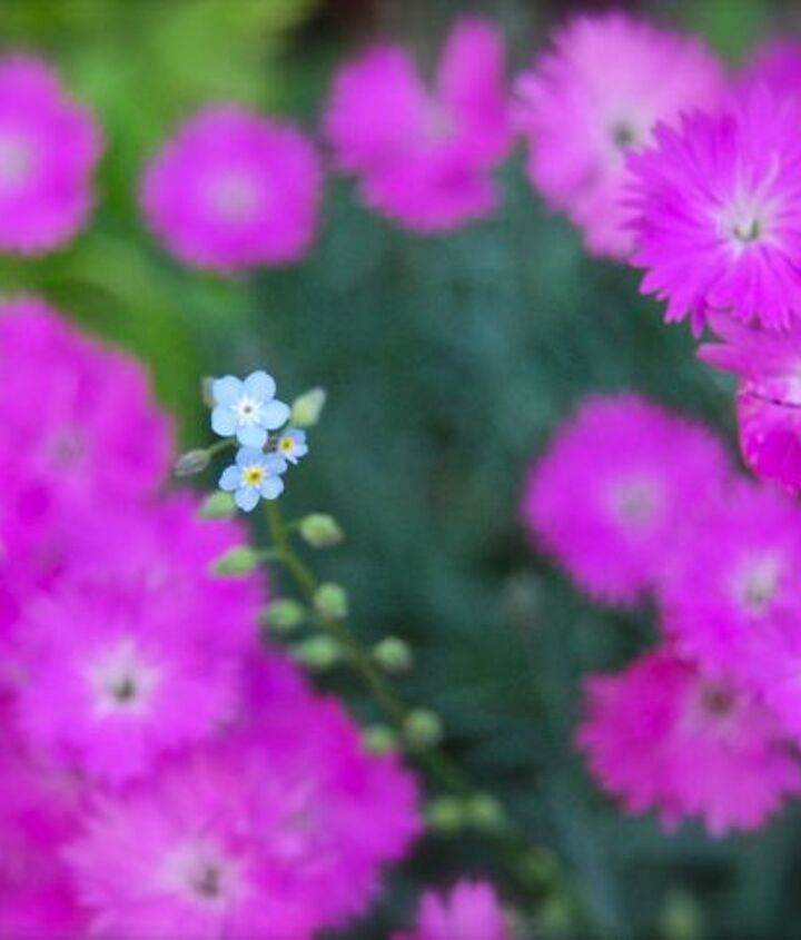 Dianthus 'Fire Witch' and one little forget-me-not blooming along the Front Walk.