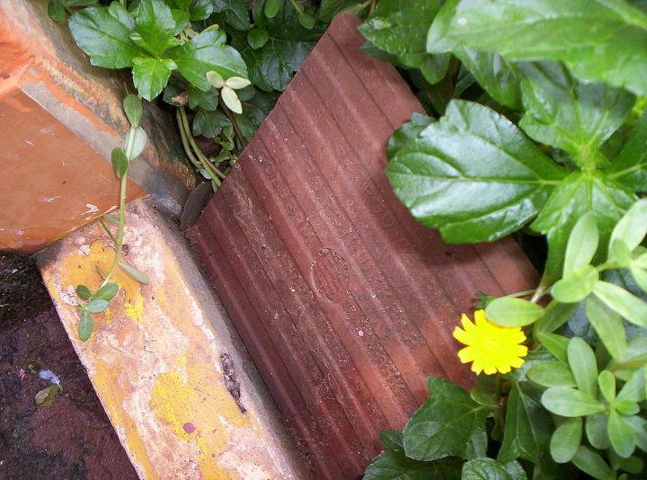 my garden, gardening, YELLOW CREEPER