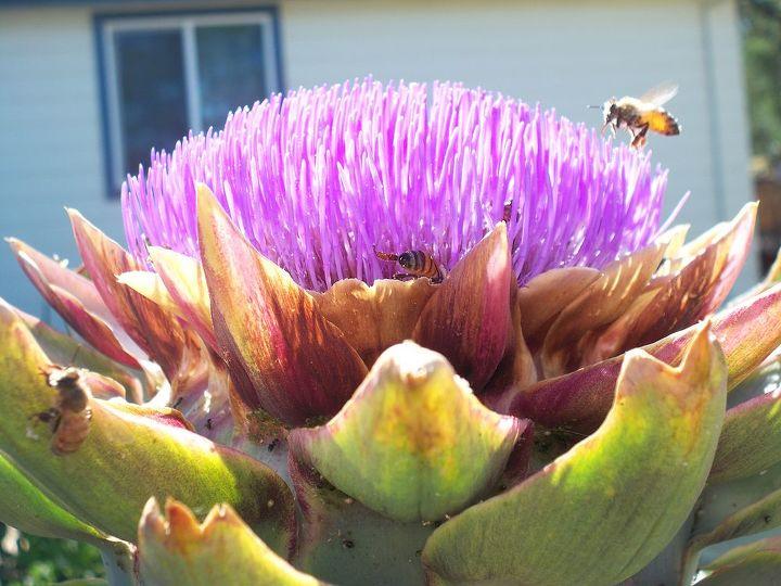 blooming artichokes, flowers, gardening