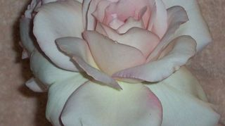 , This is Sheer Bliss a hybrid tea And smell just like the name