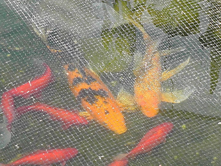 My butterfly koi fish just had about 20 babies.  The spotted black is the mama and the yellow is the dad.  The gold fish are the room mates.  I covered them with a net because a heron ate 23 of my fish the same age as dad and mom.
