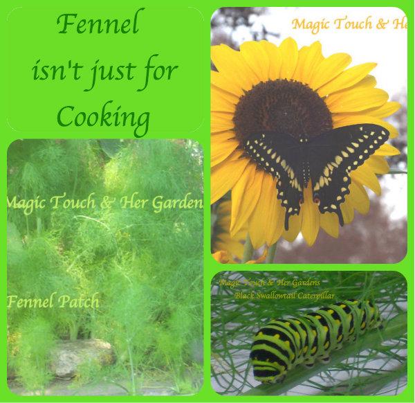 magic touch her fennel, gardening, pets animals, Fennel grows Black Swallowtail Butterflies