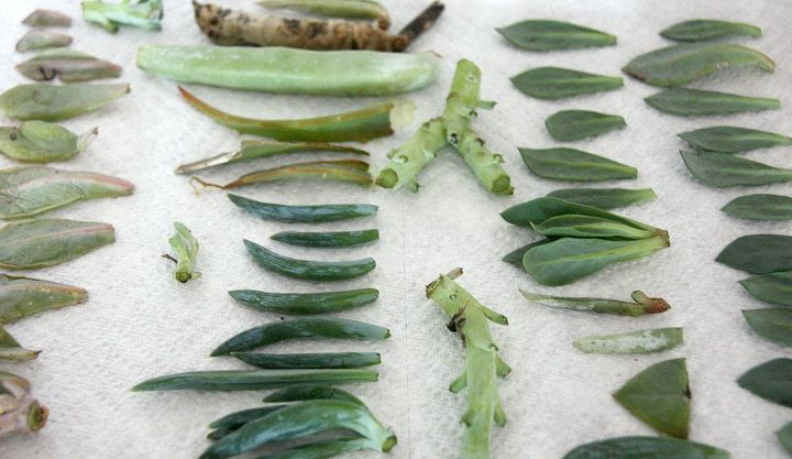 5 simple steps for starting succulents, container gardening, flowers, gardening, succulents