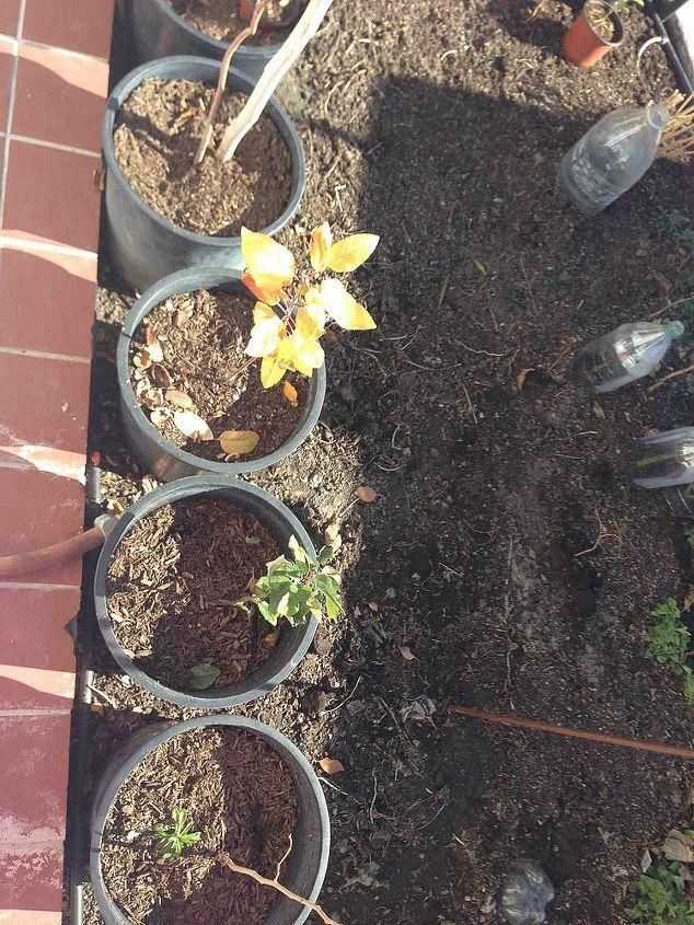 yellow apple trees s leaves, gardening
